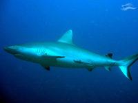 Tiburón Maldivas