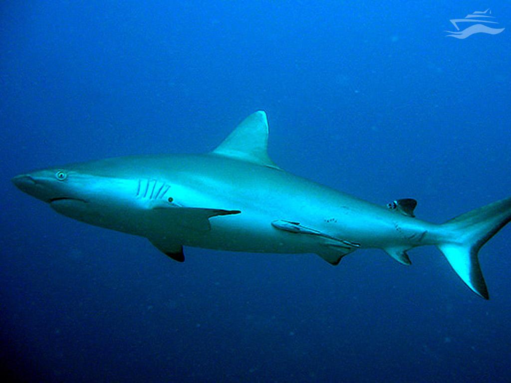 Ver tiburones en Maldivas