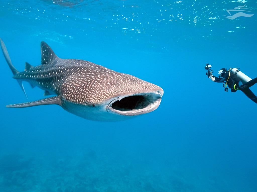 Nadar Tiburon Ballena Maldivas