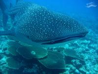 Buceo en Maldivas. Ballena. Yates Maldivas