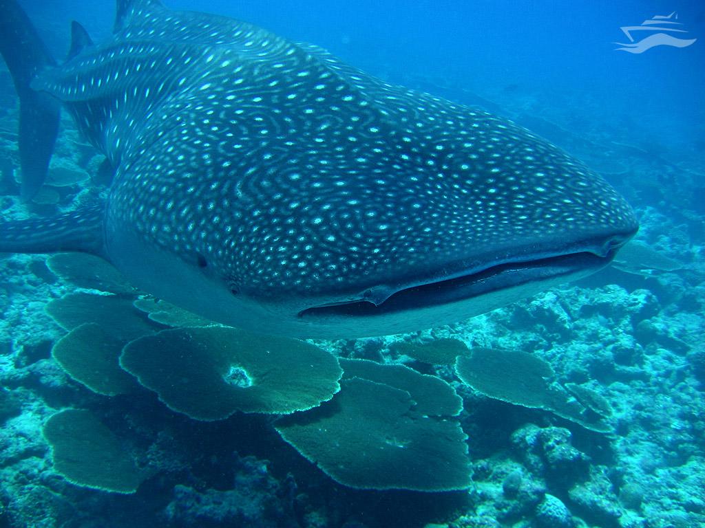 Tiburon ballena de cerca